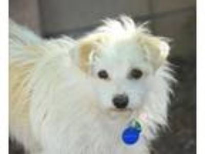Adopt HUDSON a Wirehaired Terrier, Jack Russell Terrier