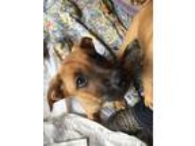 Adopt Duke - Princess P puppies male a German Shepherd Dog