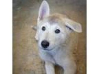 Adopt Flick a White - with Tan, Yellow or Fawn Husky dog in Starkville