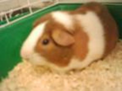 Adopt Buddy a Brown or Chocolate Guinea Pig / Guinea Pig / Mixed small animal in