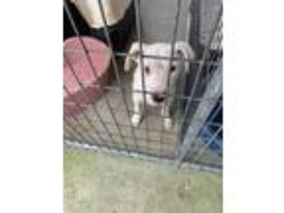 Adopt 41970231 a White American Pit Bull Terrier / Mixed dog in West Monroe