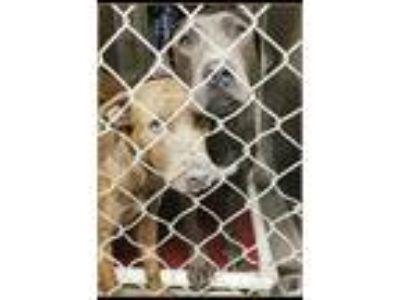 Adopt Jax a Gray/Blue/Silver/Salt & Pepper Labrador Retriever / Mixed dog in