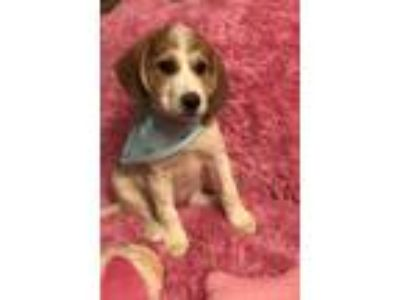Adopt Delilah a White - with Red, Golden, Orange or Chestnut Great Pyrenees /