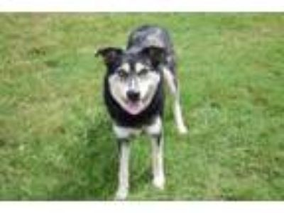 Adopt Crystal a Shepherd, Mixed Breed