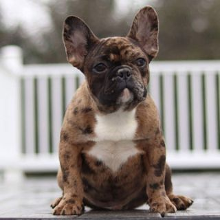 French Bulldog PUPPY FOR SALE ADN-104998 - Rare choco merle Java