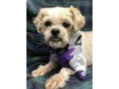 Adopt Oslo coming 5-31 a White - with Tan, Yellow or Fawn Shih Tzu / Mixed dog