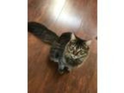 Adopt Tigress a Tiger Striped Domestic Longhair / Mixed cat in Lancaster