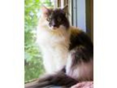 Adopt Iris a Domestic Long Hair