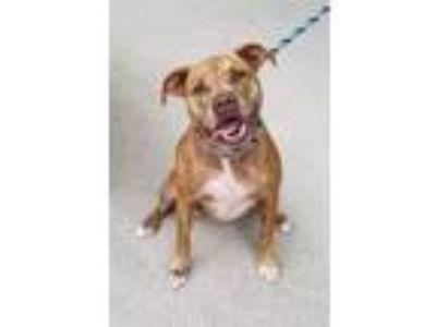 Adopt ROXY a Pit Bull Terrier