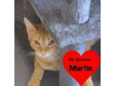 Adopt Julius a Orange or Red Domestic Shorthair (short coat) cat in San Leon
