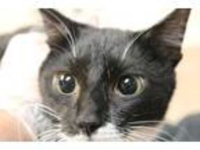 Adopt P-Nut a All Black Domestic Shorthair / Domestic Shorthair / Mixed cat in
