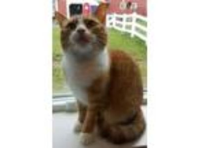 Adopt Tina a Orange or Red Domestic Shorthair / Domestic Shorthair / Mixed cat