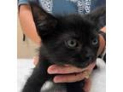 Adopt Hopper a All Black Domestic Shorthair / Domestic Shorthair / Mixed cat in