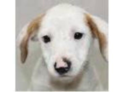 Adopt Topaz a White Feist / Terrier (Unknown Type, Small) / Mixed dog in
