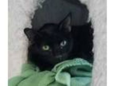 Adopt Freida a All Black Domestic Shorthair / Domestic Shorthair / Mixed cat in
