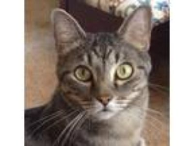 Adopt Lucy a Tabby