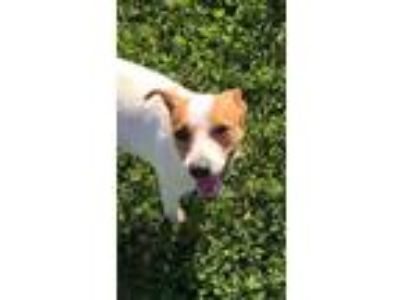 Adopt Sally a Jack Russell Terrier