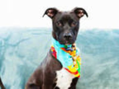 Adopt MONTIE a Black - with White Labrador Retriever / Mixed dog in Toledo