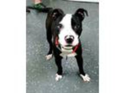 Adopt BOOGIE 38851 a Pit Bull Terrier
