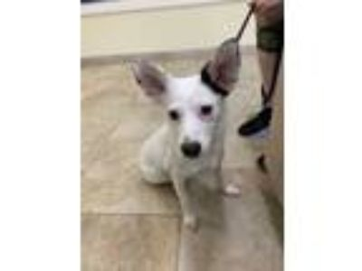 Adopt Ayla a White Terrier (Unknown Type, Small) / Mixed dog in Galveston