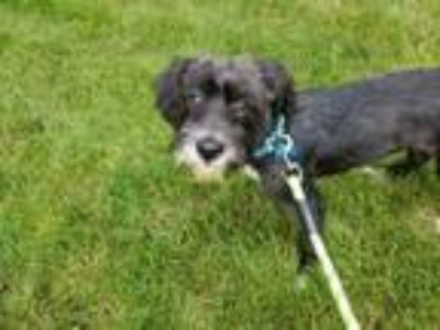Adopt Mia a Black Standard Schnauzer / Poodle (Standard) / Mixed dog in