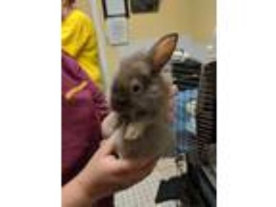 Adopt Toffee a American / Mixed (short coat) rabbit in Fall River, MA (25865191)