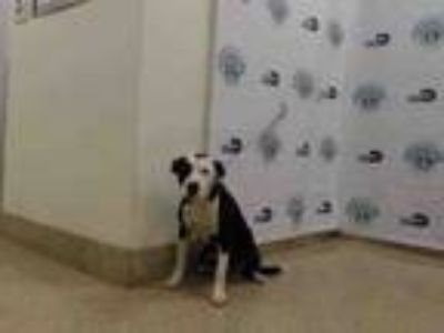Adopt LARRY a Border Collie, Mixed Breed