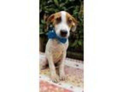 Adopt Lynus a Tricolor (Tan/Brown & Black & White) Beagle / Hound (Unknown Type)