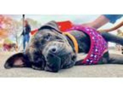 Adopt Athena *LIVED WITH CATS AND DOGS* a Shar Pei / Pit Bull Terrier / Mixed