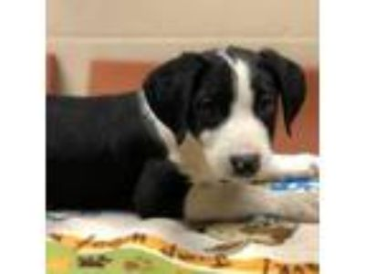 Adopt Bently a Collie, Mixed Breed