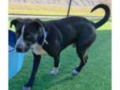 Adopt TEETO a Black - with White Labrador Retriever / Mixed dog in Dallas