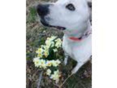 Adopt Chloe a White - with Black American Staffordshire Terrier / Dalmatian /