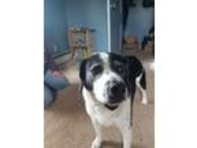 Adopt Hunter a Black - with White Pointer dog in Middleport, NY (25901952)