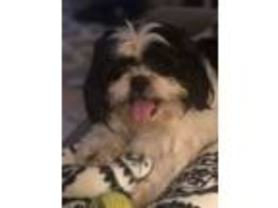 Adopt Bandit-Foster Home Needed a Shih Tzu