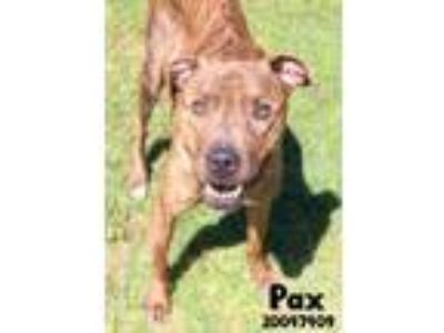 Adopt Pax a Brindle American Pit Bull Terrier / Mixed dog in Gulfport