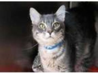 Adopt Prince a Gray or Blue Domestic Shorthair / Domestic Shorthair / Mixed cat