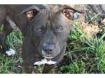 Adopt ROMEO a Black - with White American Pit Bull Terrier / Boxer / Mixed dog