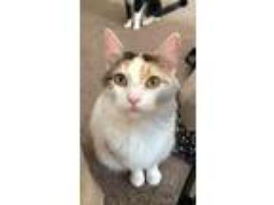 Adopt Dahlia a White (Mostly) Turkish Van / Mixed cat in Lexington