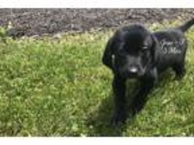 Adopt Josie a Black Labrador Retriever / Mixed dog in Effort, PA (25532620)