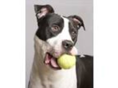 Adopt Danny a Black - with White Great Dane / American Pit Bull Terrier / Mixed