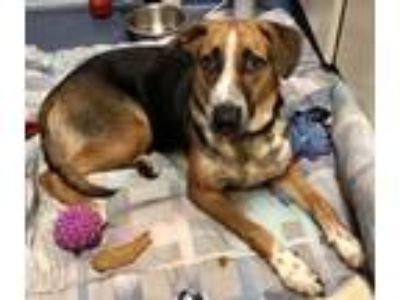 Adopt Laurie a Shepherd, Hound