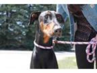 Adopt Zeke a Black Doberman Pinscher / Mixed dog in McCall, ID (25175534)