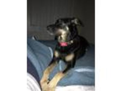 Adopt Luna a Black - with Tan, Yellow or Fawn German Shepherd Dog / Labrador