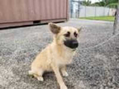 Adopt LOLA a Tan/Yellow/Fawn - with Black German Shepherd Dog / Mixed dog in