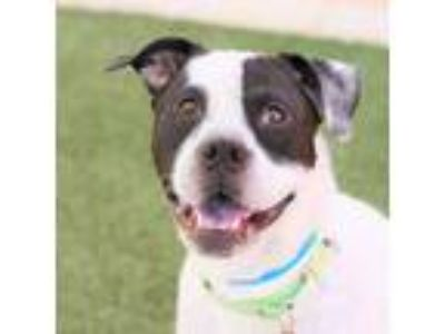 Adopt *DANNY a White - with Black American Pit Bull Terrier / Mixed dog in Las