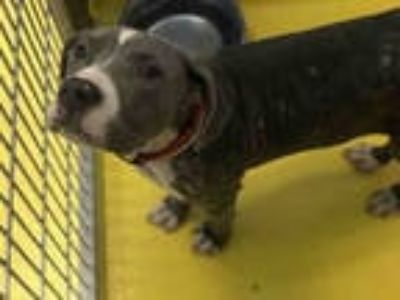 Adopt ETHEL a Gray/Silver/Salt & Pepper - with White American Pit Bull Terrier /