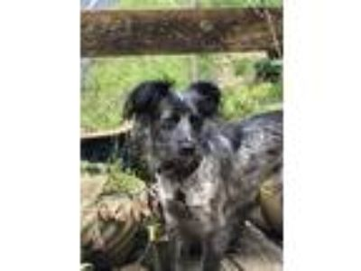 Adopt Katana a Black - with Gray or Silver Cattle Dog / Spaniel (Unknown Type) /