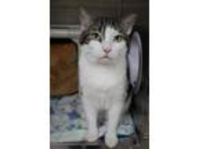 Adopt Apollo a Gray or Blue Domestic Shorthair / Domestic Shorthair / Mixed cat