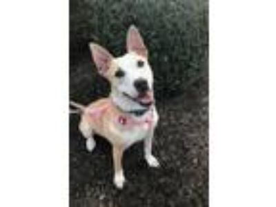 Adopt Macy a Cattle Dog