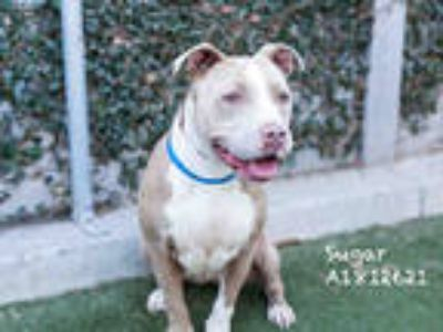 Adopt SUGAR a Tan/Yellow/Fawn - with White Mixed Breed (Medium) / Mixed dog in